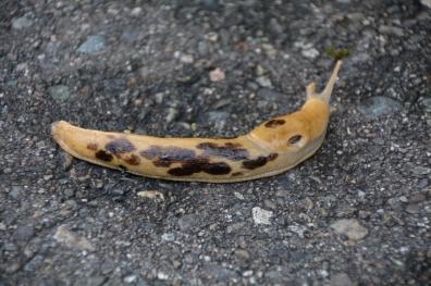Banana-Slug