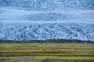 Schafe vor dem Gletscher